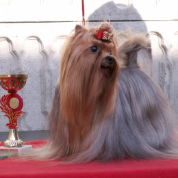 Yorkshire Terrier: ATLANTYDA Restart