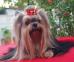 Yorkshire Terrier: BEAUTY QUEEN Restart