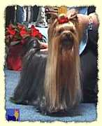 Yorkshire Terrier: BODYGUARD of Padawi's