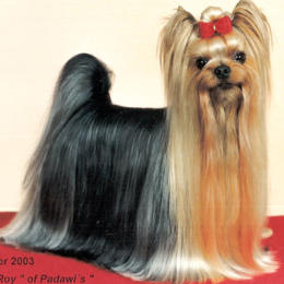 Yorkshire Terrier: HANDSOME ROY of Padawis