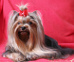 Yorkshire Terrier: KEEPERKA Restart