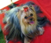 Yorkshire Terrier: PARIS & SIA Restart