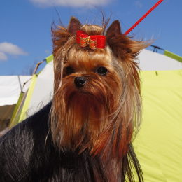 Yorkshire Terrier PARIS & SIA Restart