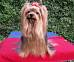 Yorkshire Terrier: PING-PONG Bakarat