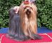Yorkshire Terrier: PRINCESSE Restart