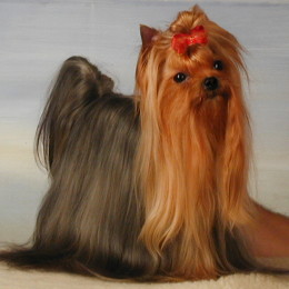Yorkshire Terrier: STAR OF BEAUTY Restart